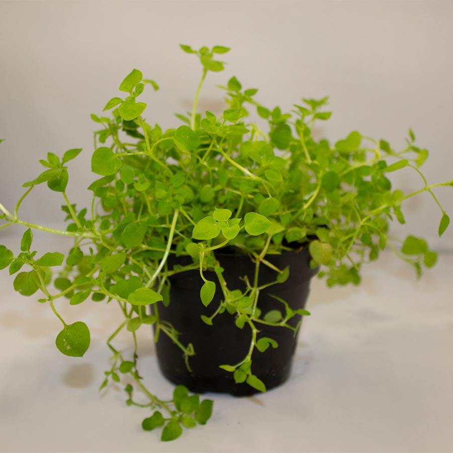 Pro Rep Live Edible Plant - Chickweed, 10cm Pot - OUT OF STOCK